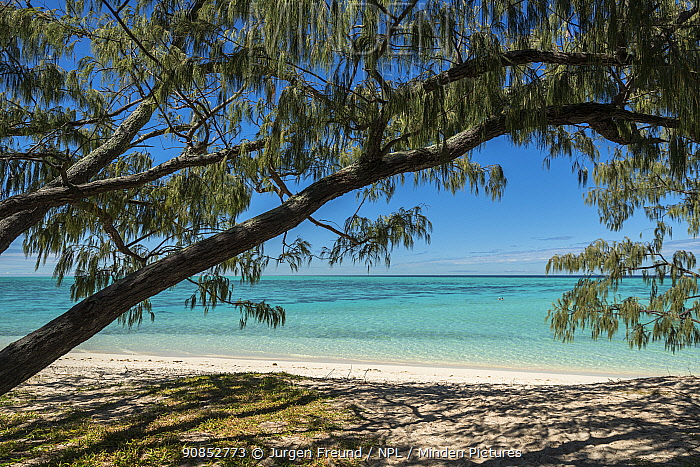 Whistling pine (Casuarina equisetifolia) tree on beach. Heron Island, Southern Great Barrier Reef, Queensland, Australia. 2016.