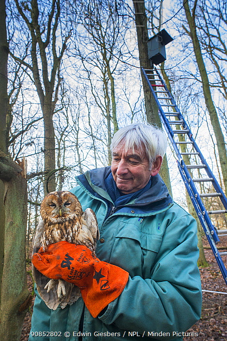 Bird ringer Fred Koning holding Tawny owl (Strix aluco) during ringing session. Part of 60 year long-term study to monitor raptor nests in a 3,400 hectare area of coastal dunes. Near Amsterdam, The Netherlands. February 2016. Model released.