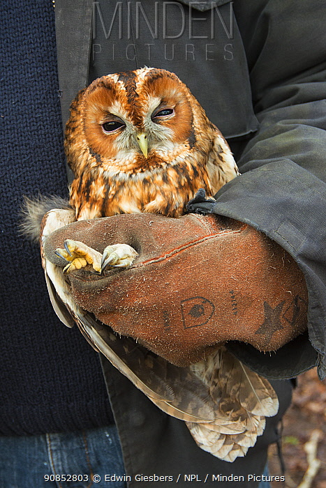 Tawny owl (Stix aluco) held during bird ringing session. Part of a 60 year long-term study to monitor raptor nests in a 3,400 hectare area of coastal dunes. Near Amsterdam, The Netherlands. February 2016.