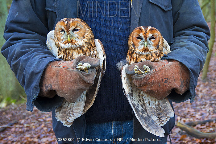 Tawny owls (Stix aluco) two held during bird ringing session. Part of a 60 year long-term study to monitor raptor nests in a 3,400 hectare area of coastal dunes. Near Amsterdam, The Netherlands. February 2016.