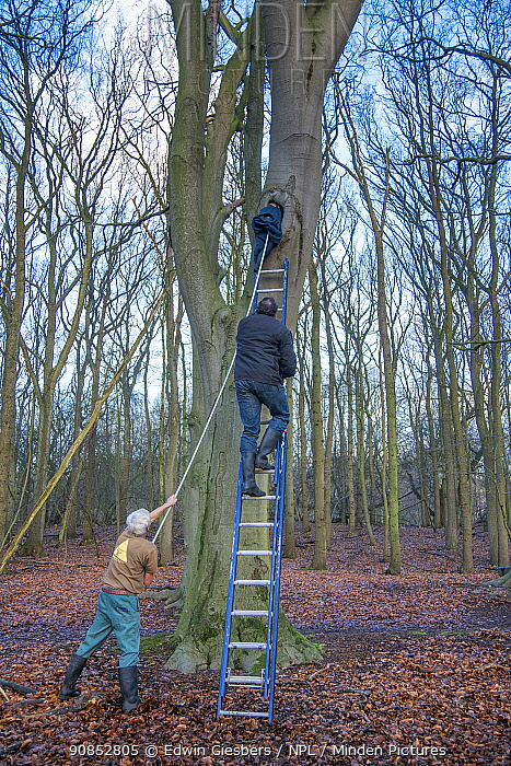 Henk-Jan Koning climbing ladder to ring birds in nest hole while his dad Fred Koning blocks the hole with a jumper to stop the birds escaping. Part of 60 year long-term study to monitor raptor nests in a 3,400 hectare area of coastal dunes. Near Amsterdam, The Netherlands. March 2016. Model released.