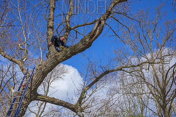 Bird ringer and researcher Henk-Jan Koning climbing tree to investigate nest in cavity. Part of 60 year long-term study run by Fred Koning to monitor raptor nests in a 3,400 hectare area of coastal dunes. Near Amsterdam, The Netherlands. March 2016. Model released.