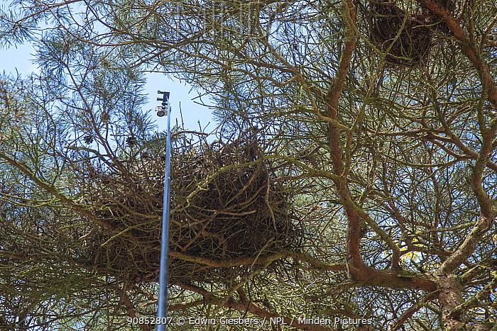 GoPro camera on pole used to check Northern goshawk (Accipiter gentilis) bird's nest in tree. Part of 60 year long-term to monitor raptor nests in a 3,400 hectare area of coastal dunes. Near Amsterdam, The Netherlands. March 2016.