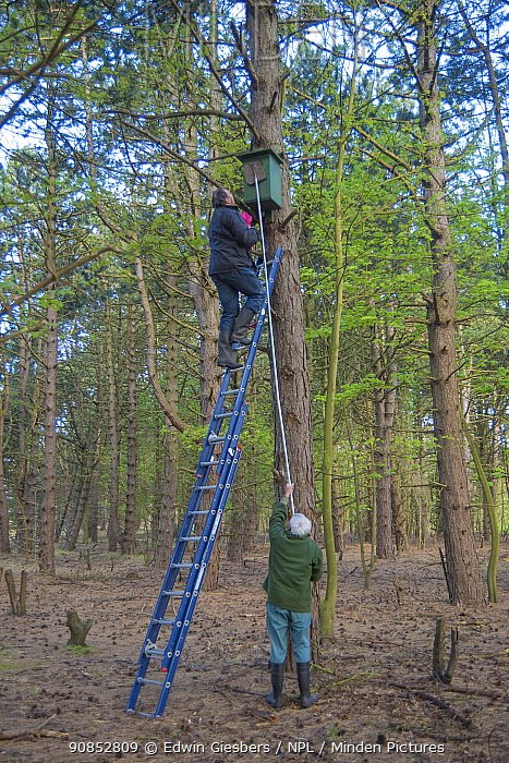 Father and son, Fred and Henk-Jan Koning blocking hole of Tawny owl (Strix aluco) nest box before ringing and weighing birds. Part of 60 year long-term study to monitor raptor nests in a 3,400 hectare area of coastal dunes. Near Amsterdam, The Netherlands. February 2016.