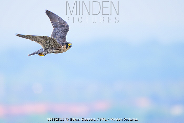 Peregrine (Falco peregrinus) in flight. The Netherlands. May.