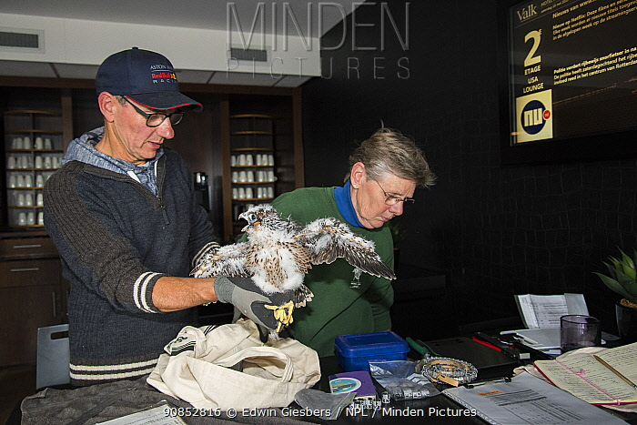 Peregrine falcon (Falco peregrinus) chick aged 4-5 weeks having measurements taken during bird ringing session inside hotel, peregrines nest on balcony. Utrecht, The Netherlands. May 2018.