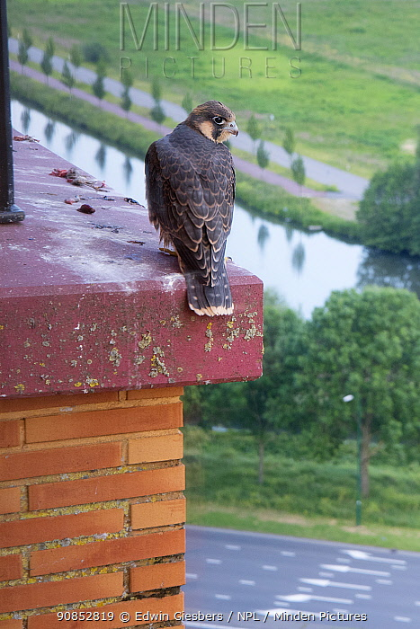 Peregrine falcon (Falco peregrinus) fledgling perched on edge of hotel balcony waiting for parents to return with food, overlooking road and canal. Houten, Utrecht, The Netherlands. May 2019.
