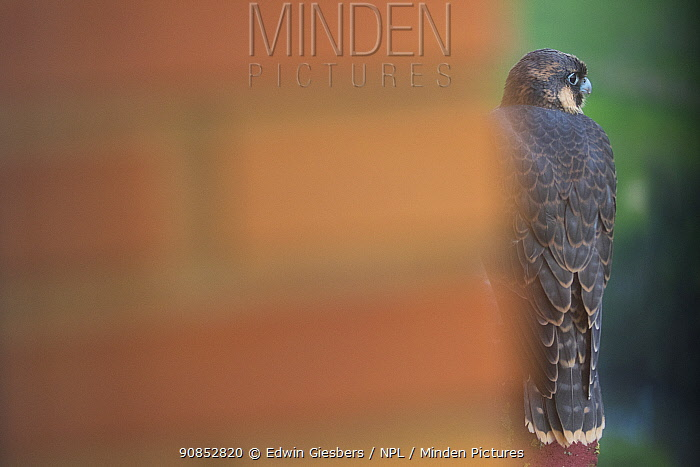 Peregrine falcon (Falco peregrinus) fledgling perched on edge of hotel balcony waiting for parents to return with food, viewed around pillar. Houten, Utrecht, The Netherlands. May 2019.