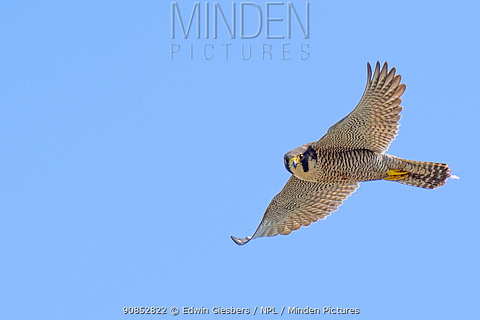 Peregrine falcon (Falco peregrinus) in flight. The Netherlands. May.