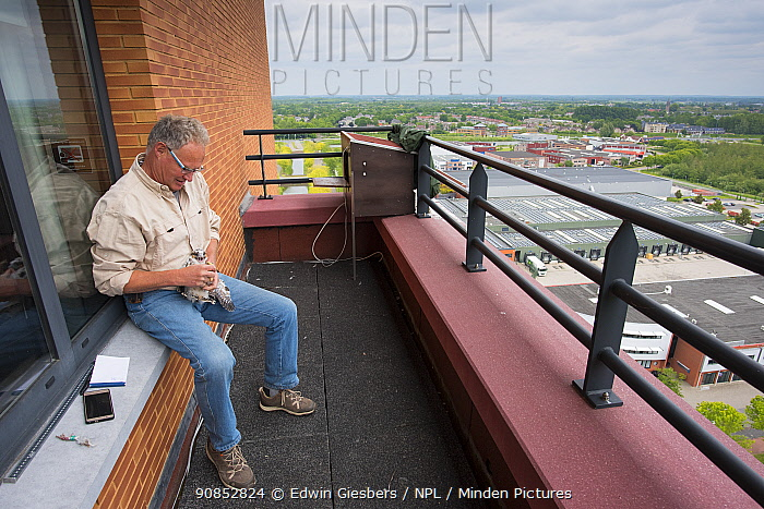 Man ringing Peregrine falcon (Falco peregrinus) chick on hotel balcony. Houten, Utrecht, The Netherlands. May 2018.