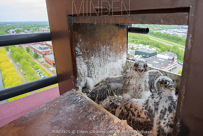 Peregrine falcon (Falco peregrinus), two chicks aged 4-5 weeks at nest on hotel balcony overlooking city. Houten, Utrecht, The Netherlands. May 2018.