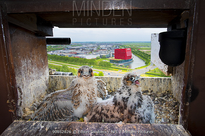 Peregrine falcon (Falco peregrinus), two chicks aged 4-5 weeks at nest on hotel balcony, overlooking city. Houten, Utrecht, The Netherlands. May 2018.
