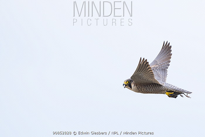 Peregrine falcon (Falco peregrinus) in flight with Bird prey in talons. The Netherlands. May.