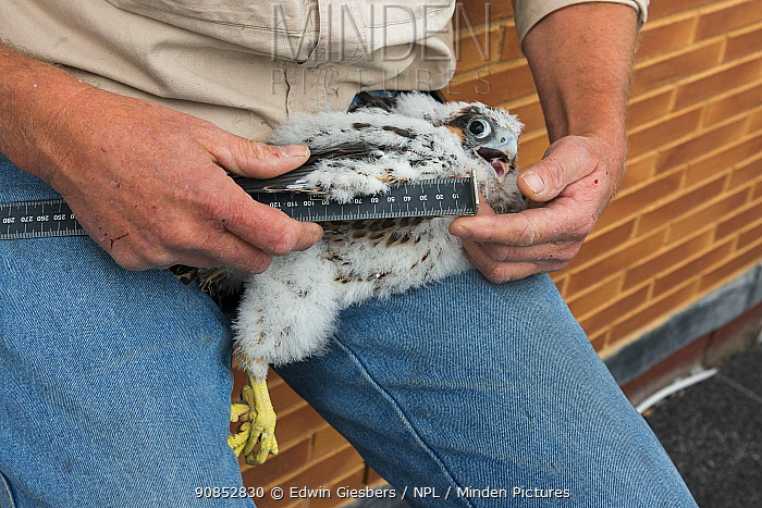 Bird ringer measuring wings of Peregrine falcon (Falco peregrinus) chick aged 4-5 weeks during ringing session. Utrecht, The Netherlands. April 2019.