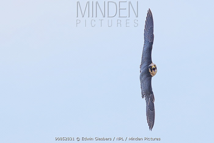 Peregrine falcon (Falco peregrinus) in flight towards camera with open beak. The Netherlands. May.