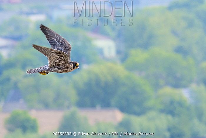 Peregrine falcon (Falco peregrinus) in flight. The Netherlands. May.