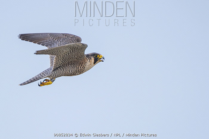 Peregrine falcon (Falco peregrinus) in flight with open beak. The Netherlands. May.