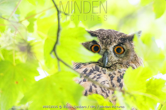 Eurasian eagle owl (Bubo bubo) perched in tree, viewed through leaves. The Netherlands. July.