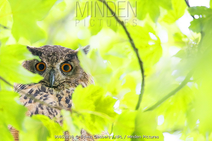 Eurasian eagle owl (Bubo bubo) in tree, surrounded by leaves. The Netherlands. July.