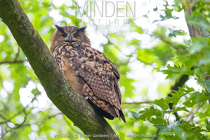 Eurasian eagle owl (Bubo bubo) perched in tree. The Netherlands. June.