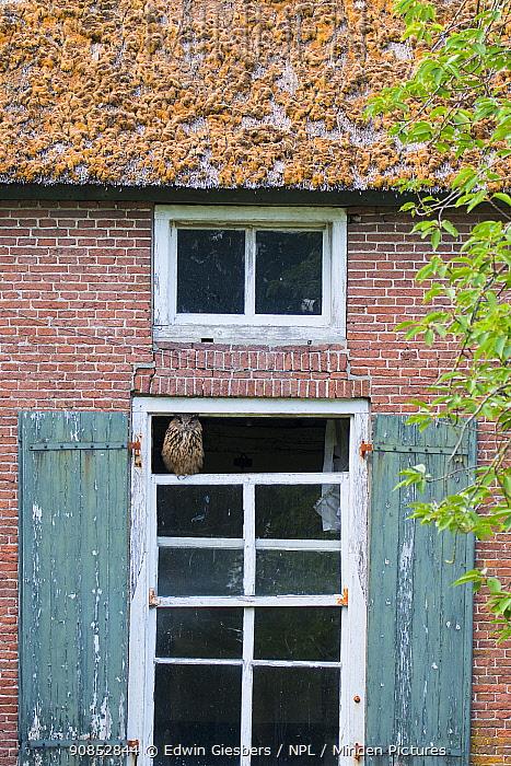 Eurasian eagle owl (Bubo bubo) perched on broken window of abandoned farm. The Netherlands. July 2020.
