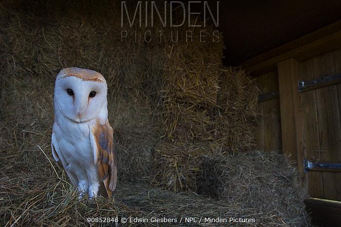 Barn owl (Tyto alba) perched on hay bales in barn. Captive.