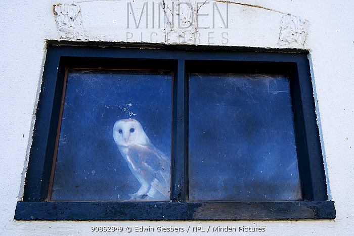 Barn owl (Tyto alba) looking out of window of old barn. The Netherlands. Captive.