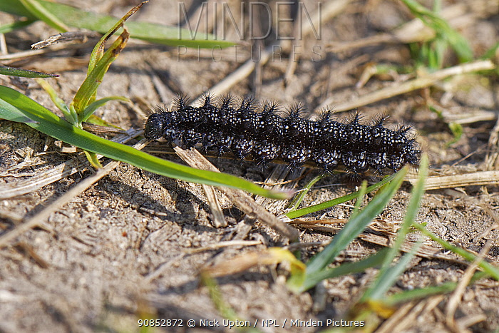 Marsh fritillary (Euphydryas aurinia) caterpillar, close to pupation, crossing a path on a chalk grassland meadow, Wiltshire, UK, April.