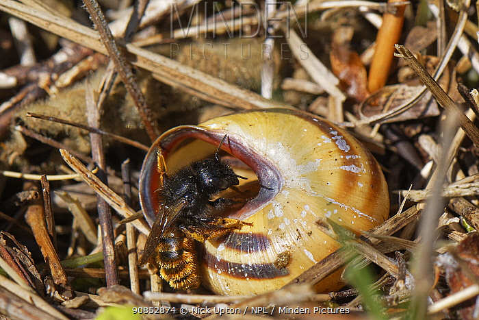Two-coloured mason bee (Osmia bicolor) entering her nest in a Brown-lipped snail (Cepaeae nemoralis) shell on a chalk grassland slope, Bath and northeast Somerset, UK, May. The bee provisions the snail shell with chewed balls of pollen and nectar and seals it with a layer of debris and masticated leaves.