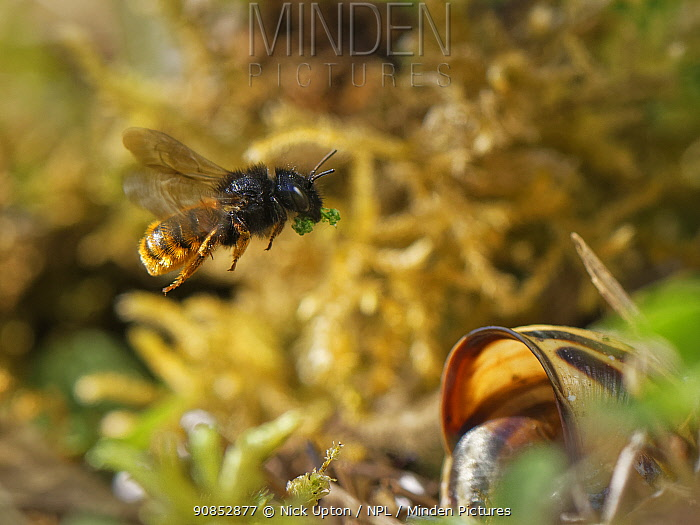Two-coloured mason bee (Osmia bicolor) flying to her nest in a Brown-lipped snail (Cepaeae nemoralis) shell with a chewed up leaf to seal a brood cell with after provisioning it with balls of pollen and nectar, on a chalk grassland slope, Bath and northeast Somerset, UK, May.