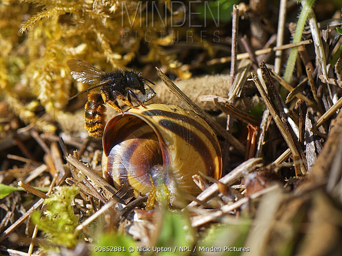 Two-coloured mason bee (Osmia bicolor) landing at her nest in a Brown-lipped snail (Cepaeae nemoralis) shell with a small stone to help seal it with on a chalk grassland slope, Bath and northeast Somerset, UK, May. The bee provisions the snail shell with chewed balls of pollen and nectar, seals it with a layer of debris and masticated leaves and covers it with a stack of dried leaves and sticks.