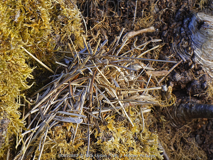 Pile of small sticks and dried leaves arranged by a Two-coloured mason bee (Osmia bicolor) to camouflage her nest in a Brown-lipped snail (Cepaeae nemoralis) shell on a chalk grassland slope, Bath and northeast Somerset, UK, May. The bee provisions the snail shell with chewed balls of pollen and nectar, seals it with a layer of debris and masticated leaves and covers it with a stack of dried leaves and sticks.