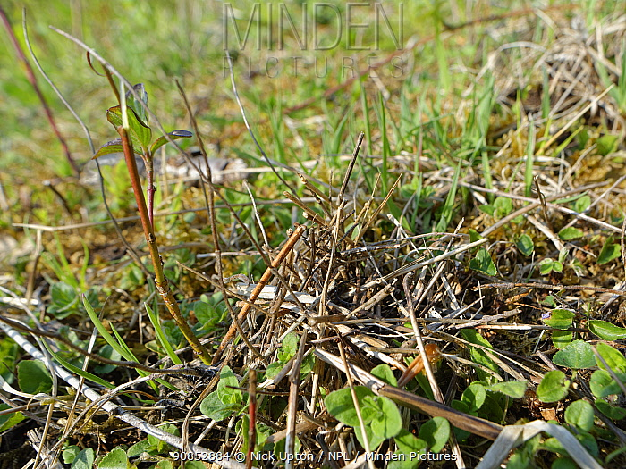 Pile of small sticks and dried leaves arranged by a Two-coloured mason bee (Osmia bicolor) to camouflage her nest in a Brown-lipped snail (Cepaeae nemoralis) shell on a chalk grassland slope, Bath and northeast Somerset, UK, April. The bee provisions the snail shell with chewed balls of pollen and nectar, seals it with a layer of debris and masticated leaves and covers it with a stack of dried leaves and sticks.