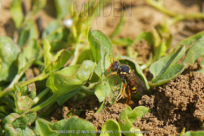 Painted cuckoo bee / Nomad bee (Nomada fucata) a parasite of solitary bees, emerging from the nest burrow of its host species, the Yellow-legged mining bee (Andrena flavipes), Wiltshire field margin, UK, April.
