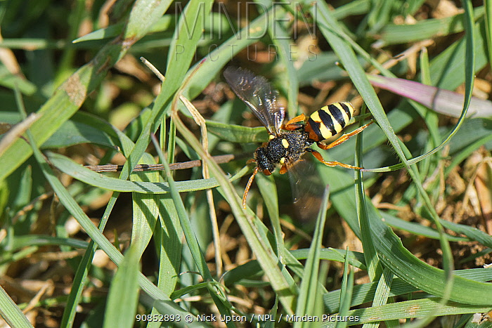 Painted cuckoo bee / Nomad bee (Nomada fucata) a parasite of solitary bees, hunting for nests of its host species, the Yellow-legged mining bee (Andrena flavipes), Wiltshire field margin, UK, April