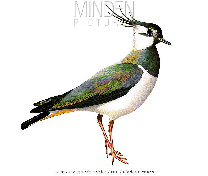 Illustration of Lapwing (Vanellus vanellus)