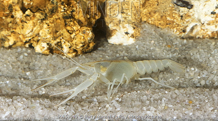 Big Cheeked crayfish( Procambarus deilcata) male Endemic to Ocala National Forest, USA. Species known from only one cave system and not documented since 1985.Critically endangered