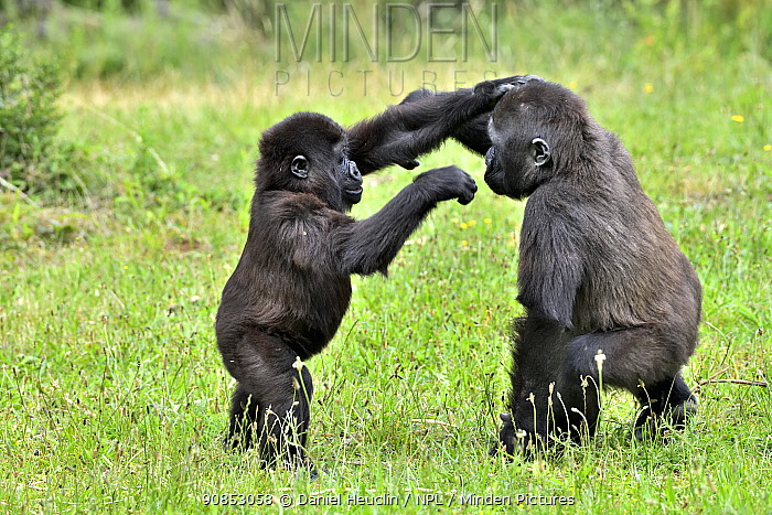 Western lowland gorilla (Gorilla gorilla gorilla) juvenile and baby playing, captive, occurs in Central Africa.