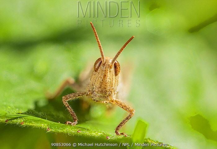 Field grasshopper (Chorthippus brunneus) nymph, Bristol UK, July, Focus stacked