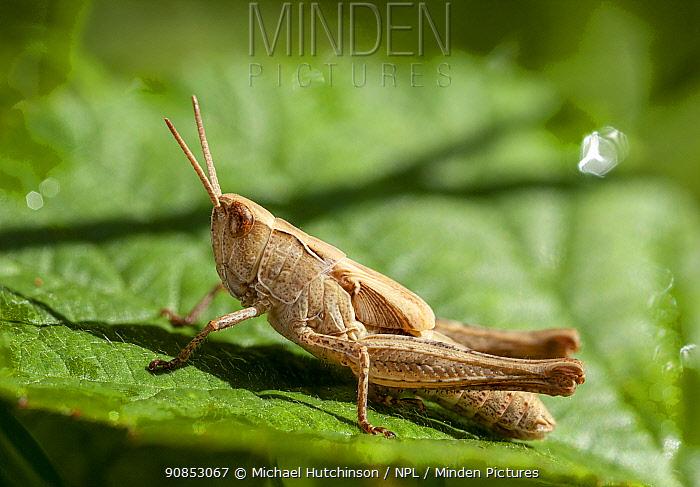 Field grasshopper, (Chorthippus brunneus) nymph, Bristol UK, July, Focus stacked