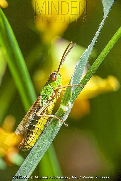 Meadow grasshopper (Chorthippus parallelus) Bristol, UK. June.