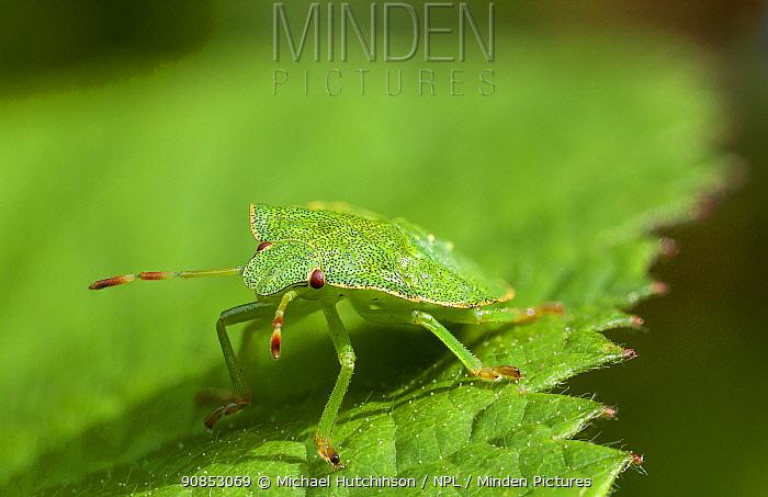 Green shieldbug nymph (Palomena prasina) on bramble leaf, Bristol, UK, July. Focus stacked.