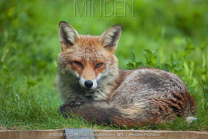 Red fox (Vulpes vulpes) resting in garden, Bristol, UK, April.