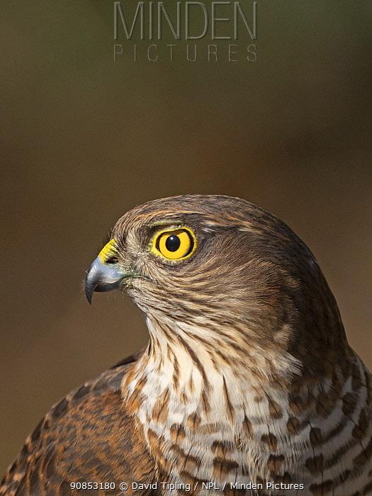 Eurasian sparrowhawk (Accipiter nisus) juvenile male, portrait. North Norfolk, England, UK. February.