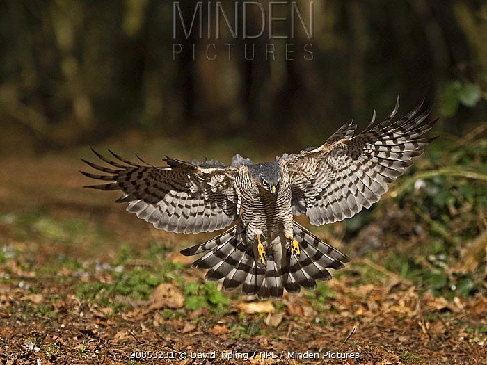 Eurasian sparrowhawk (Accipiter nisus) female landing. North Norfolk, England, UK. March.