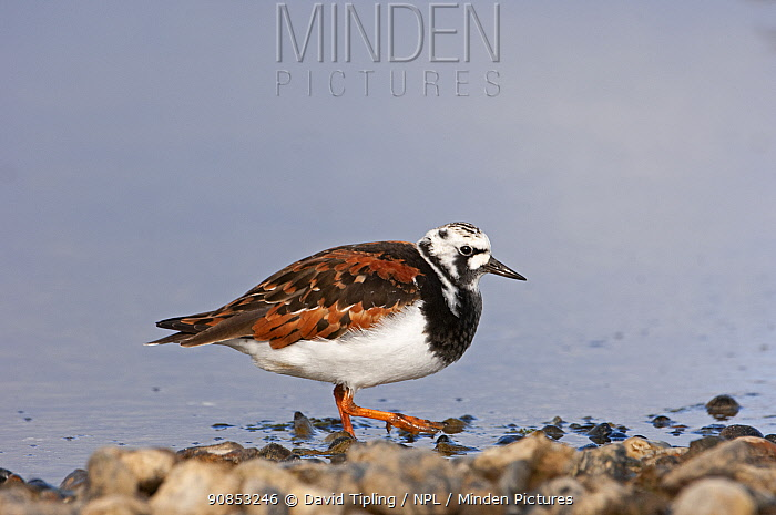 Ruddy turnstone (Arenaria interpres) in breeding plumage on tideline. Norfolk, England, UK. May.