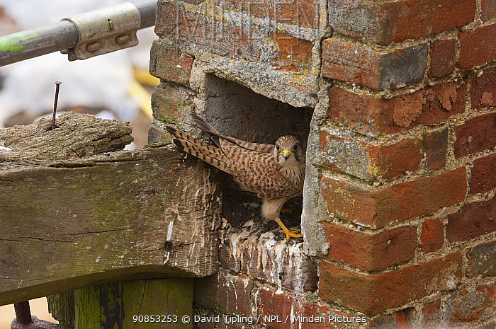 Kestrel (Falco tinnunculus) female nesting in old chimney. Norfolk, England, UK. June.