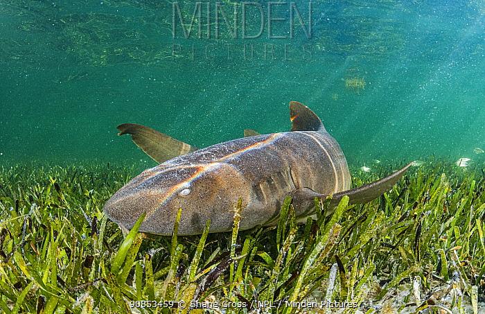 Nurse shark (Ginglymostoma cirratum) hunting in Turtlegrass (Thalassia testudinum) bed. Florida Keys, Florida, USA.
