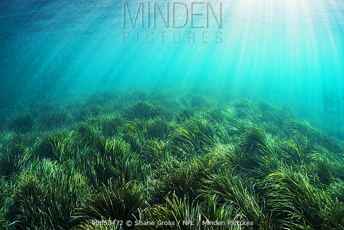 Neptune seagrass (Posidonia oceanica) bed, sun rays shining through water. A patch of seagrass bed in the Mediterranean sea is considered to be the oldest living organism on earth. Spain. June.