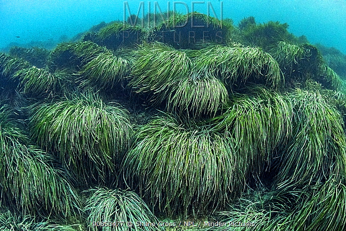 Neptune seagrass (Posidonia oceanica) bed. A patch of seagrass bed in the Mediterranean sea is considered to be the oldest living organism on earth. Spain. June.